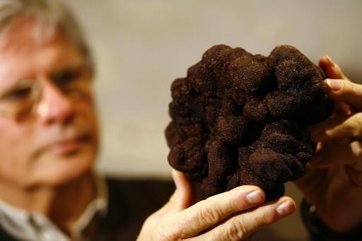 Cette truffe de 1,02 kg, récoltée samedi à... (Photo: AFP)