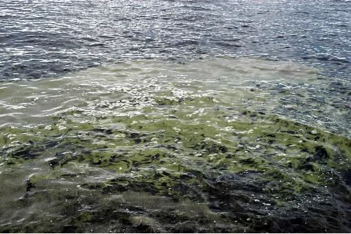 Des algues bleues... (Photo: Le Quotidien)
