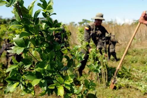 Quelque 224 000 hectares de plantations de coca ont été détruites manuellement... (Photo: AFP)