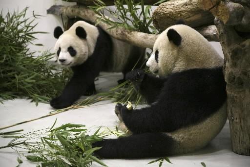 «Tuan Tuan» et «Yuan Yuan» ont débarqué à... (Photo: AP)
