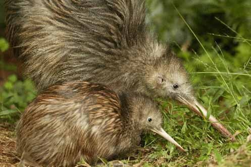 Des kiwis... (Photo: AP)