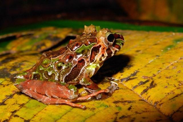 Cette grenouille, Pristimantis genus, fait partie des espèces... (Photo AFP)