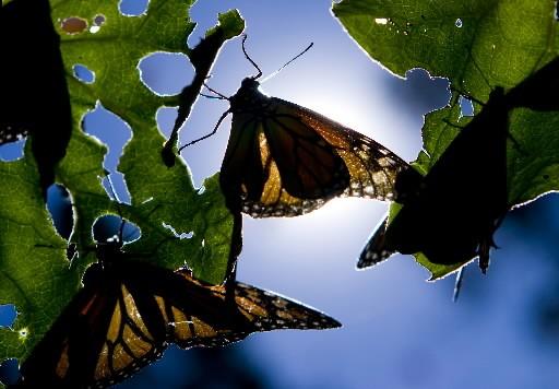 Les papillons occupent actuellement 9,9 acres de forêt... (Photo: Martin Chamberland, La Presse)
