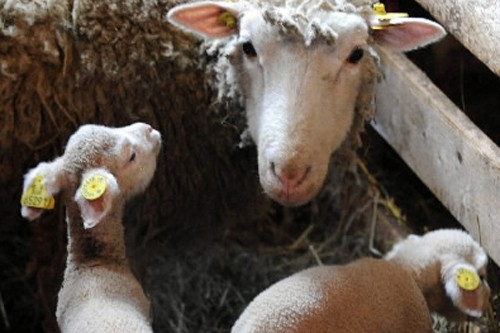 Ça y est. Après plus de 10 ans de travail, les producteurs d'agneaux de... (Photo: Érick Labbé, Focus1/Le Soleil)