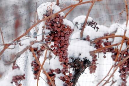 Du raisin Vidal gelé entrant dans la composition... (Photo fournie par Inniskillin)