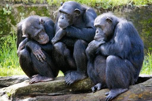 Trois chimpanzés femelles au zoo Taronga à Sydney... (Photo: AFP)