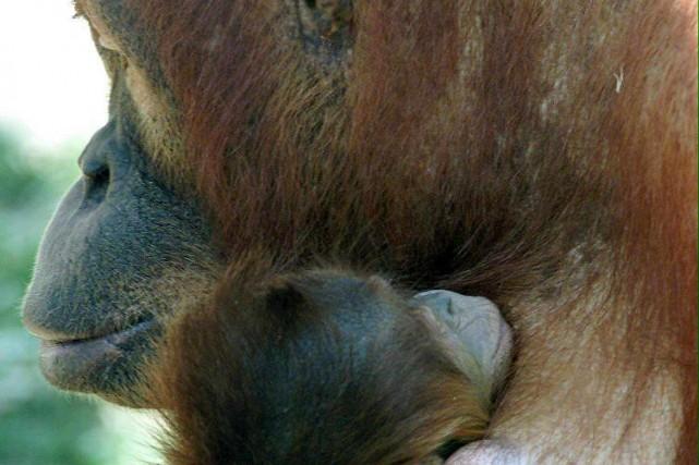 Une mère orang outan et son enfant.... (Photo: AFP)