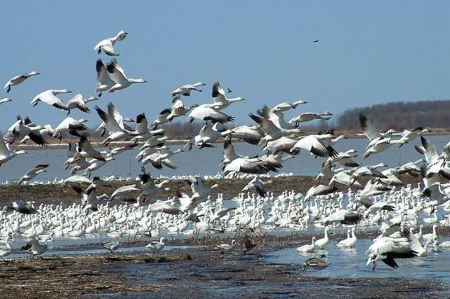 Le réchauffement climatique, en allongeant le trajet de nombreux oiseaux... (Archives La Presse)