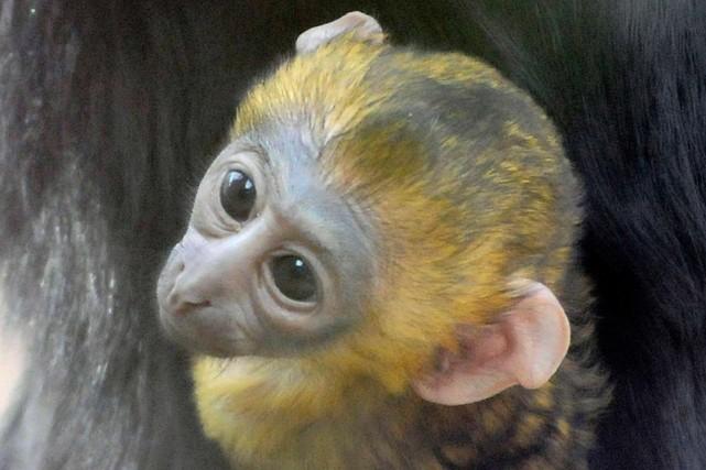 Un bébé singe à tête de hibou est... (Photo: AFP)