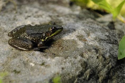 Une grenouille... (Photo: Bernard Brault, archives La Presse)