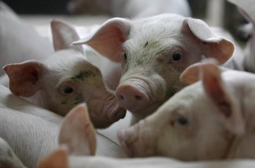 Le premier cas de grippe porcine au Proche-Orient a été confirmé mardi en... (Photo: Reuters)