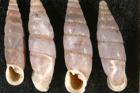 Spécimens de Leucostigma candidescens....