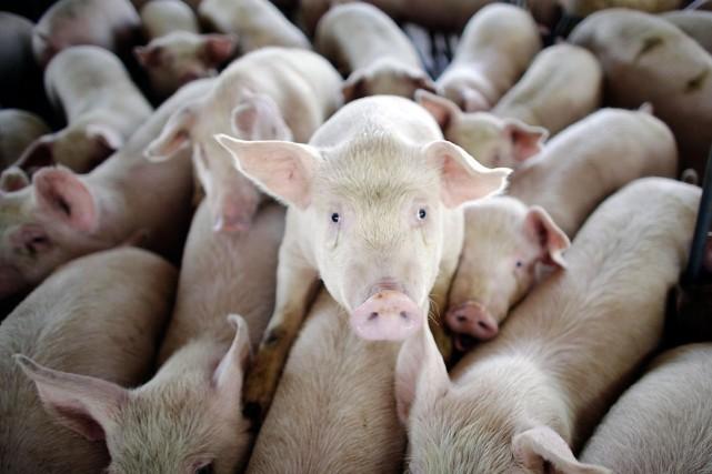 L'Egypte a reconnu jeudi que sa décision d'abattre tout son cheptel porcin... (Photo AP)