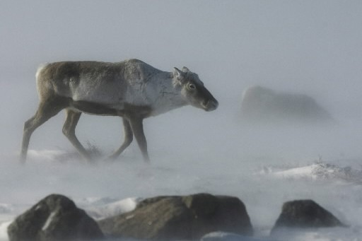 Un caribou... (Photo: PC)