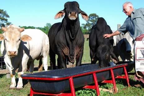 Dans les Prairies, nourrir le bétail pourrait devenir... (Photo Reuters)