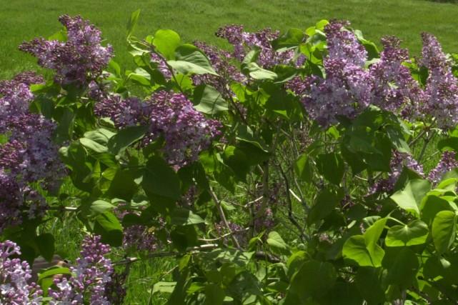 Les fleurs fan es des lilas larry hodgson collaboration - Quand faut il couper les fleurs fanees des hortensias ...