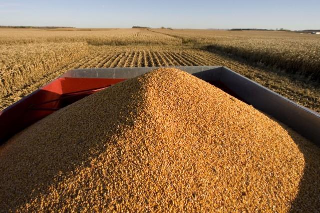 La culture du maïs OGM MON 810 du semencier américain Monsanto présente plus... (Archives La Presse)