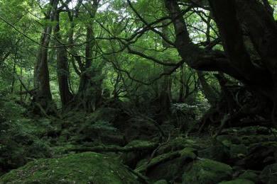 La forêt sur l'île japonaise protégée de Yakushima... (Photo: AFP)