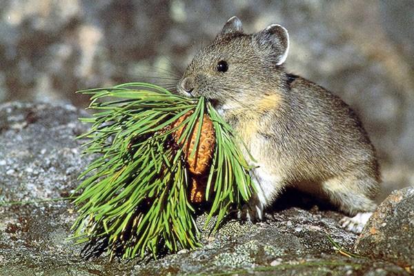 Le pika américain, petit mammifère habitant dans les... (Photo AP)