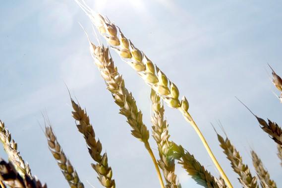 Pour les meuneries, la qualité du blé québécois... (Photothèque Le Soleil)