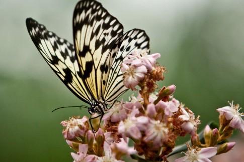 ornithoptère papillon canada vente