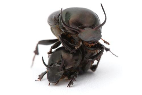 L'Onthophagus taurus est capable de tirer 1141 fois... (Photo: AFP)