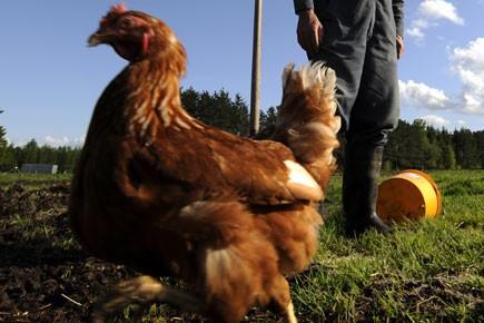 Les producteurs d'oeufs bios se comptent sur les... (Photo: Bernard Brault, La Presse)