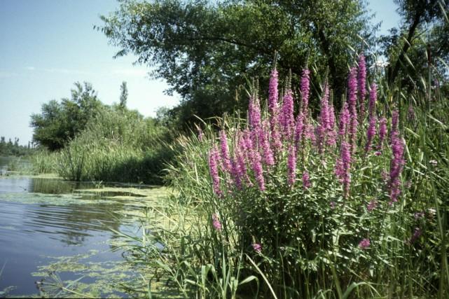 Lythrum salicaire pourpre.... (Photo: Fournie par le Jardin Botanique de Montréal)