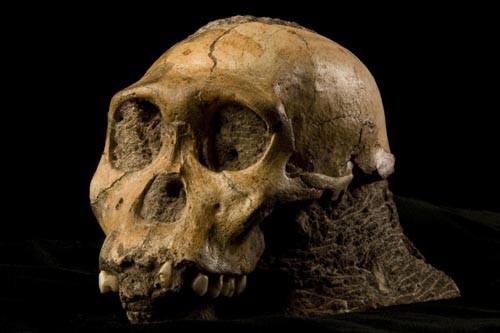 Le crâne de l'Australophithecus sediba.... (Photo fournie par Brett Eloff et Lee Berger, Université du Witwatersrand)
