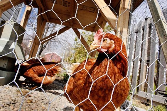 Les poules arrivent en ville annie morin agro alimentaire - Poules en ville reglementation ...