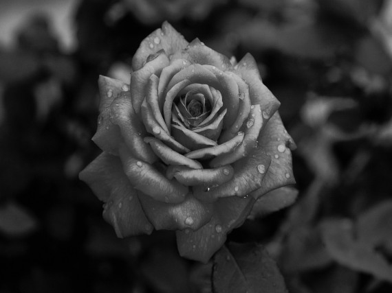 Tailler un rosier en augmente la floraison horticulture - Tailler les rosiers ...