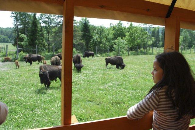 Au Ranch panoramique, on peut observer les bisons... (Photo: fournie par le POG)