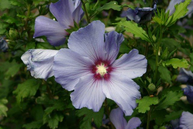 Miraculeux hibiscus | Pierre Gingras | Jardiner