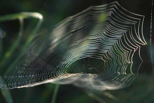 des vers 224 soie transg 233 niques produisent du fil de toile d