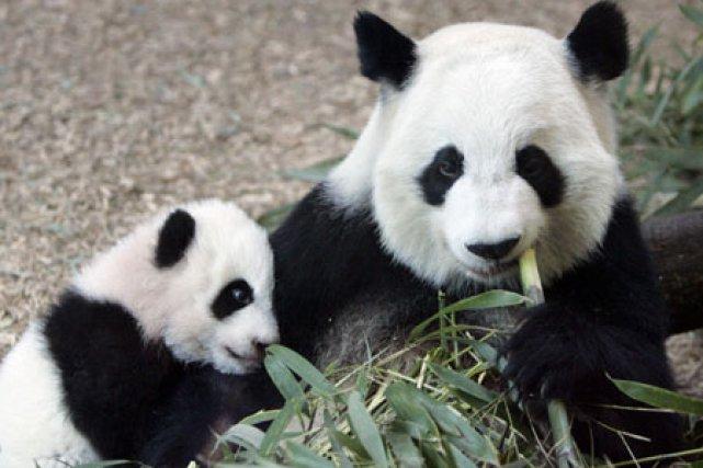 Les pandas sont menacés par la diminution de... (Photo: AP)