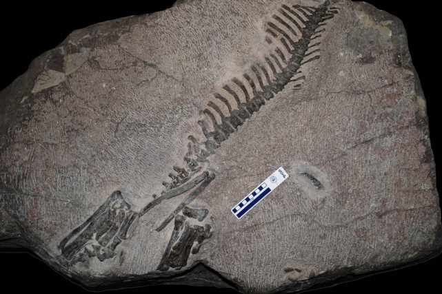 Des fossiles duKoreaceratops découverts en Corée du Sud.... (Photo: AFP)