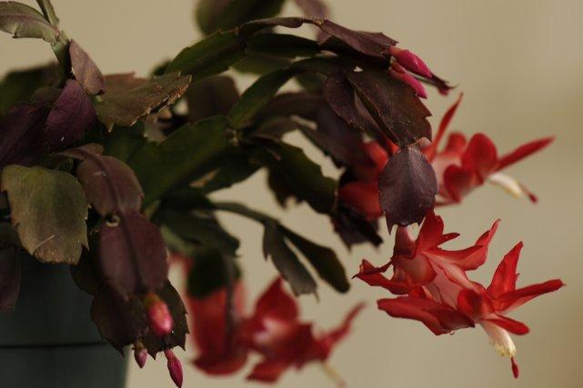 quand le cactus de no l fleurit l 39 action de gr ce larry hodgson jardiner. Black Bedroom Furniture Sets. Home Design Ideas