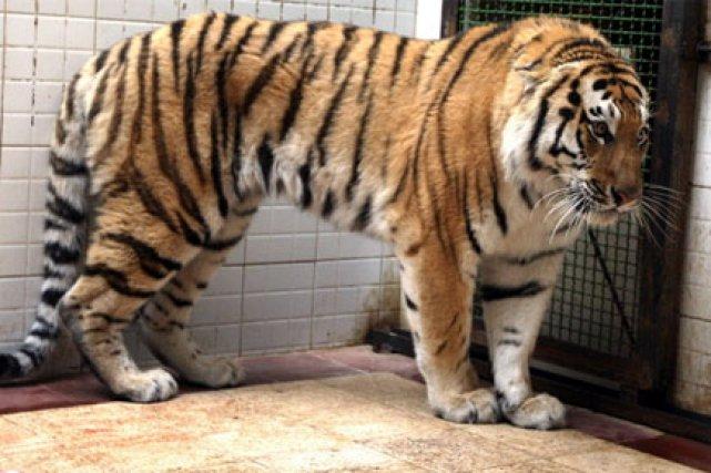 Extrem Un tigre de Sibérie russe meurt en Iran | Espèces menacées TC54