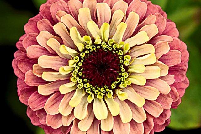 La fleur du zinnia est composée de centaines... (National Garden Bureau)