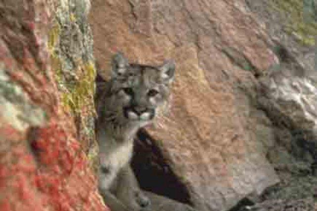 cougar pour oshawa