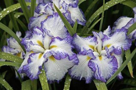 """Résultat de recherche d'images pour """"Les iris"""""""