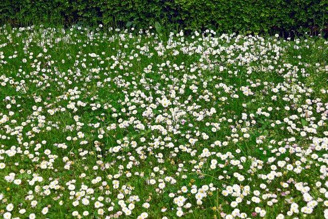 La pâquerette orne les champs de l'Europe au... (www.jardinierparesseux.com)