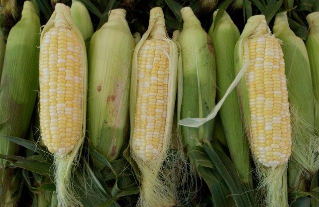 Le maïs a été une des premières cultures... (Photothèque La Presse)