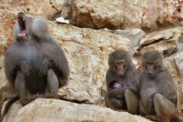 Des babouins... (Photo: Mathieu Perreault, La Presse)