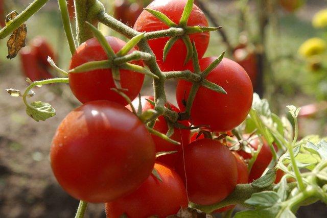 Un composé trouvé dans les tomates permettrait d'améliorer... (Archives AFP)