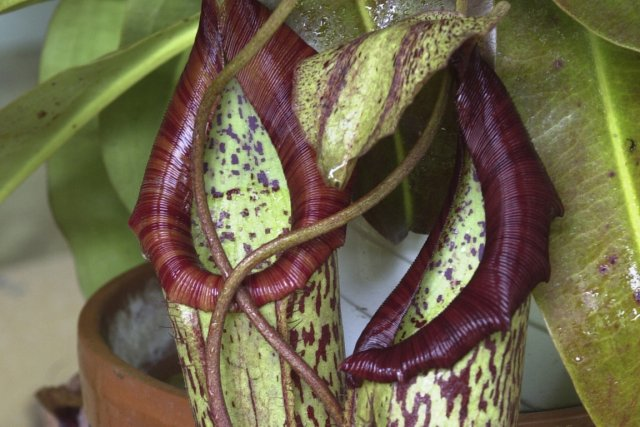 Des nepenthes.... (Photo: Archives La Presse)