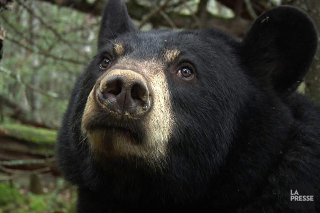 Un chasseur a été attaqué par un ours,... (Photo: Archives PC)