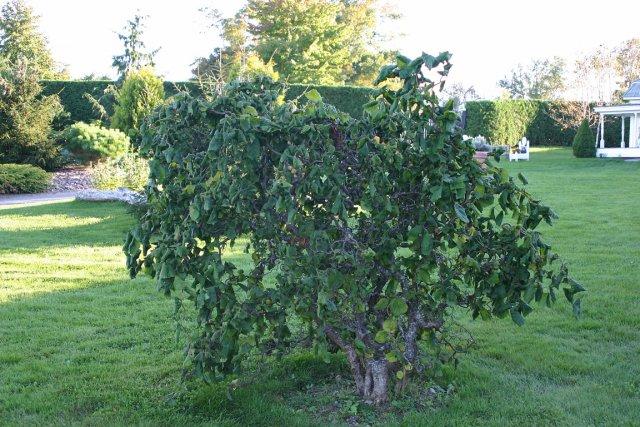 trois plantes diaboliques larry hodgson collaboration sp ciale horticulture. Black Bedroom Furniture Sets. Home Design Ideas