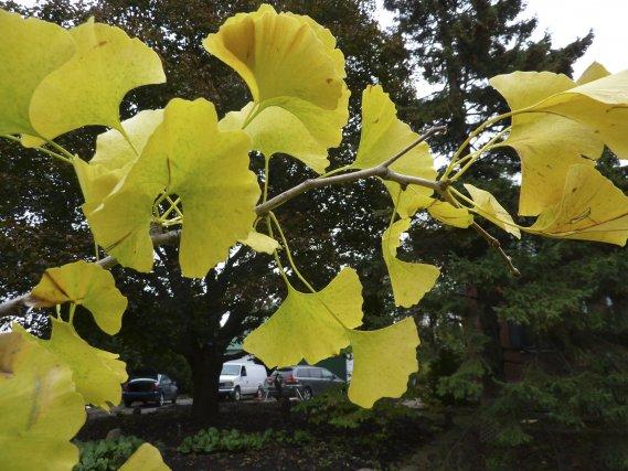 Ginko biloba l 39 arbre aux quarante cus pierre gingras cour et jardin - Maison ginkgo ...