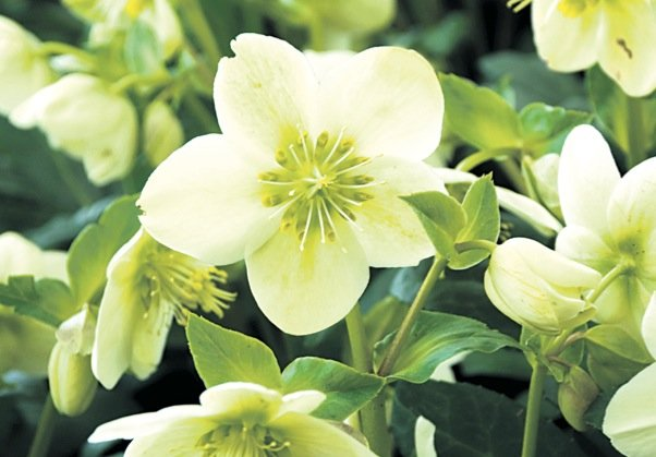 L'hellébore, ici Helleborus 'HGC Spring Party', une future... (Photo Walters Gardens)